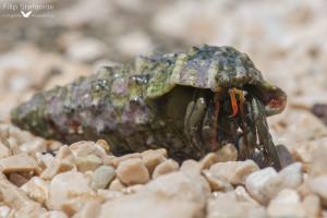 Krab pustelnik